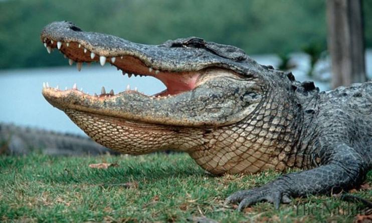 Texas Alligator Kills Late Night Swimmer