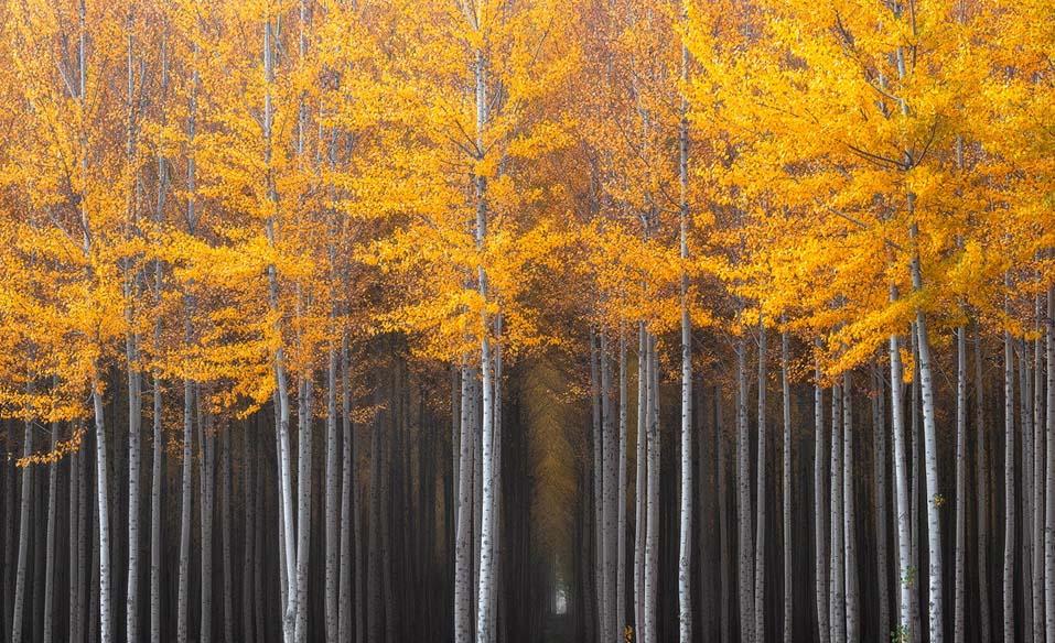 Thick grove of poplar