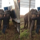 Two Elephants Stop Truck from Tipping off Side